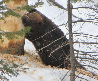 http://cdnph.upi.com/sv/em/i/UPI-5341403003909/2014/1/14030041636269/Beaver-attack-sends-New-York-man-to-the-hospital-with-deep-puncture-wounds.jpg