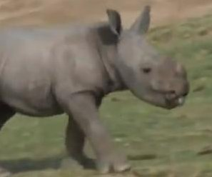 //cdnph.upi.com/sv/em/i/UPI-5361362759107/2013/1/13627701832016/VIDEO-Meet-Kayode-the-baby-rhino-born-at-San-Diego-Zoo-Safari-Park.jpg