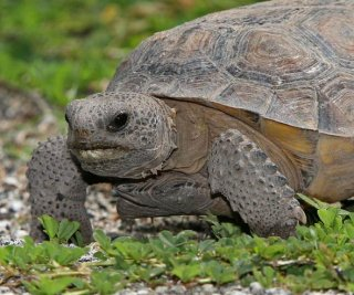 http://cdnph.upi.com/sv/em/i/UPI-5451409254711/2014/1/14092562662560/Florida-man-busted-for-eating-threatened-tortoises.jpg