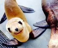 http://cdnph.upi.com/sv/em/i/UPI-5491397676878/2014/1/13976791952707/Lost-sea-lion-pup-rescued-a-mile-from-San-Joaquin-River.jpg