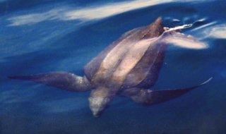 http://cdnph.upi.com/sv/em/i/UPI-55191330629400/2012/1/13306281651376/Study-identifies-threats-to-marine-turtles.jpg