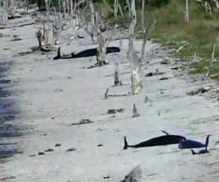 http://cdnph.upi.com/sv/em/i/UPI-5691386176872/2013/1/13861790711433/Group-of-30-whales-stranded-in-Everglades-National-Park.jpg