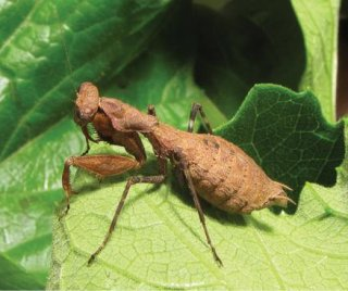 http://cdnph.upi.com/sv/em/i/UPI-5711400682953/2014/1/14006848915882/Bush-tiger-praying-mantis-discovered-in-Rwanda.jpg