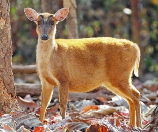 http://cdnph.upi.com/sv/em/i/UPI-6171394727976/2014/1/13947292223211/Roosevelts-barking-deer-spotted-in-Vietnam-after-85-year-absence.jpg