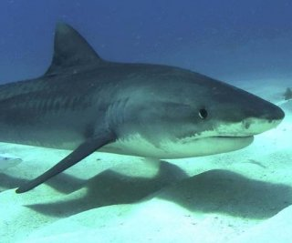 http://cdnph.upi.com/sv/em/i/UPI-6811408109463/2014/1/13938844247922/809-pound-tiger-shark-cooked-and-served-to-90-needy-people-in-Texas.jpg