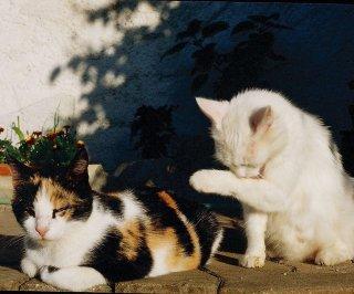 http://cdnph.upi.com/sv/em/i/UPI-6961392834666/2014/1/13928389941221/Calico-cats-may-hold-secret-to-weight-loss.jpg