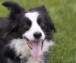 http://cdnph.upi.com/sv/em/i/UPI-7041376446013/2013/1/13764467832717/Missing-border-collie-found-stuck-up-a-tree.jpg