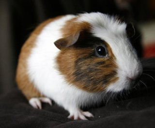 http://cdnph.upi.com/sv/em/i/UPI-7041402319919/2014/1/14023206624374/Male-guinea-pig-fathers-400-after-getting-into-female-enclosure-and-having-a-field-day.jpg
