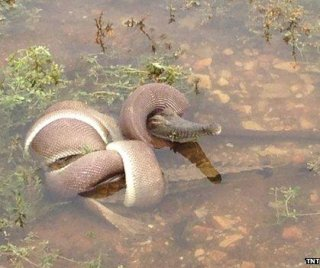 http://cdnph.upi.com/sv/em/i/UPI-7261393868717/2014/1/13938711074063/Giant-snake-swallows-crocodile-in-Australia.jpg