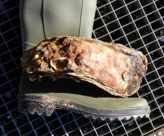 //cdnph.upi.com/sv/em/i/UPI-7271392908162/2014/1/13929125512190/Giant-oyster-confirmed-as-worlds-largest.jpg
