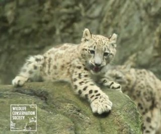 //cdnph.upi.com/sv/em/i/UPI-7321377638296/2013/1/13776389459871/Snow-leopard-cub-makes-its-internet-debut-in-viral-clip.jpg