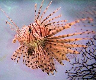 http://cdnph.upi.com/sv/em/i/UPI-7621406028984/2014/1/14060356499050/Sixth-grader-impresses-academics-with-lionfish-experiment.jpg