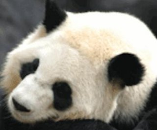 http://cdnph.upi.com/sv/em/i/UPI-7691372873811/2013/1/13728751397521/Lun-Lun-panda-pregnant-with-fourth-cub.jpg