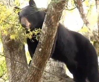 http://cdnph.upi.com/sv/em/i/UPI-7881397563906/2014/1/13975641036445/Huge-black-bear-falls-30-feet-after-being-shot-out-of-tree-in-Florida.jpg