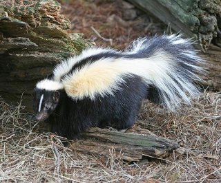 //cdnph.upi.com/sv/em/i/UPI-82041346088255/2012/1/13460907387921/Woman-says-missed-skunk-shot-husband.jpg