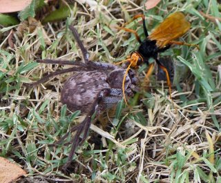 http://cdnph.upi.com/sv/em/i/UPI-8811404328234/2014/1/14043306285267/Spider-wasps-line-their-nests-with-dead-ants.jpg