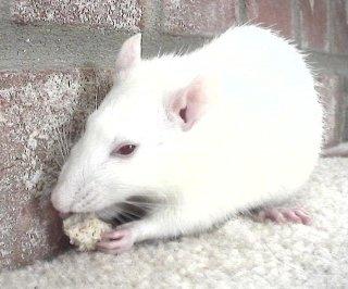 http://cdnph.upi.com/sv/em/i/UPI-8901402324238/2014/1/13966376899622/Study-rats-feel-regret.jpg