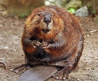 http://cdnph.upi.com/sv/em/i/UPI-8931365710123/2013/1/13657106231706/VIDEO-Camera-shy-beaver-kills-man-trying-to-take-his-photo.jpg