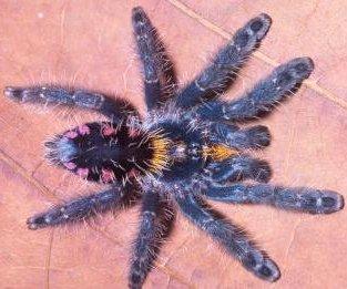 http://cdnph.upi.com/sv/em/i/UPI-90391351640008/2012/1/13516365901449/New-tree-dwelling-tarantulas-described.jpg