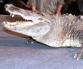http://cdnph.upi.com/sv/em/upi/UPI-3241377529915/2013/1/2df76deae30a8bce19914c29d4c954bc/Crocodile-attack-victims-body-found.jpg