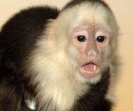 http://cdnph.upi.com/sv/em/upi/UPI-57341341780987/2012/1/430a60372d0bea1cb38ddf20addc8433/Baby-monkey-calls-played-to-lure-monkey.jpg