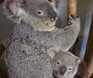 http://cdnph.upi.com/sv/em/upi/UPI-7551401891187/2014/1/50389ca0df9460e476b18f5d02e5cdce/Koalas-hug-trees-to-stay-cool.jpg
