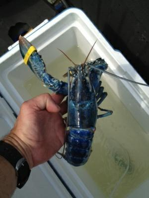 Blue lobster headed for National Aquarium