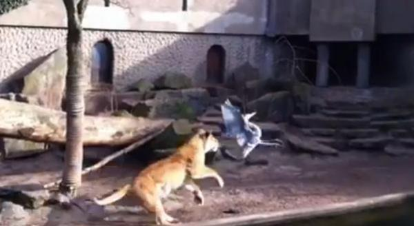 [VIDEO] Lion kills heron in front of crowd in Amsterdam zoo