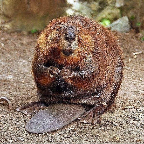 Rabid beaver chases children