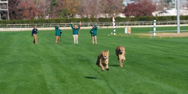 Cheetahs cut loose at the race track