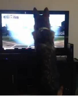 [VIDEO] Baseball-loving dog attacks TV for ball