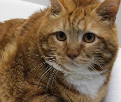 Shelter looking for housing for 42-lb cat