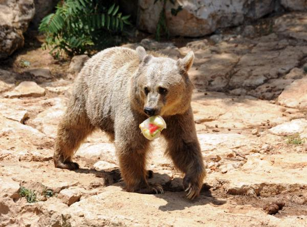 Bears steal 100 pounds of honey