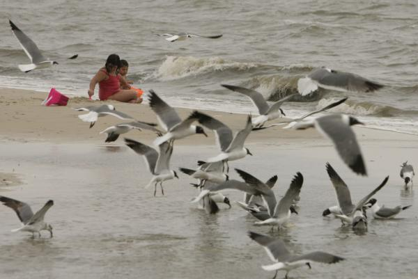 Experts: Drowned seagulls may have been drunk on ants