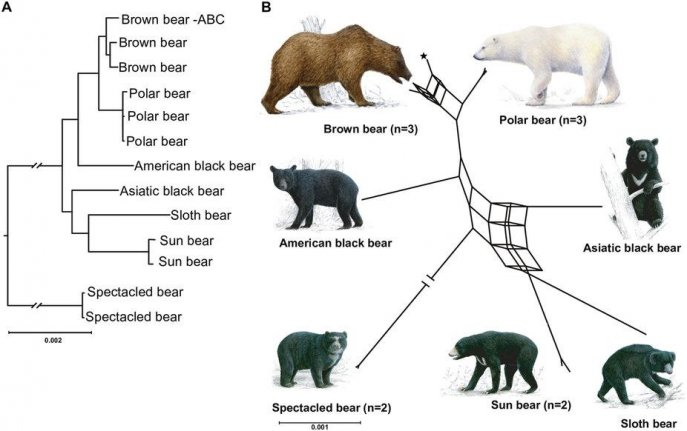 Most bear species capable of hybridization, research shows ... Bear Species Chart