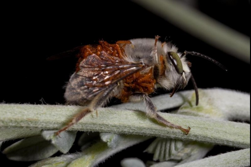 Parasitic Beetle Mimics The Perfume Of Female Bees To