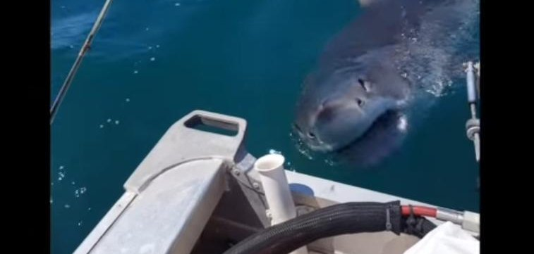 Watch Fisherman Stalked By Great White Shark Near Auckland Upi Com