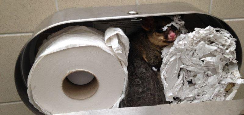 Possum Found Hiding In Toilet Paper Dispenser Upi Com