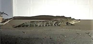 Look Alligator Approaches Front Door Of Florida Home Upi Com