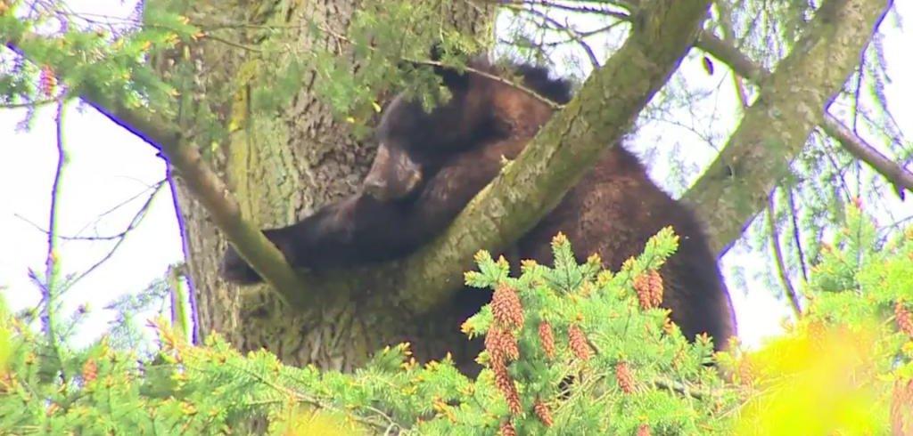 Black bear climbs tree near school, prompts hours-long stand-off - UPI.com