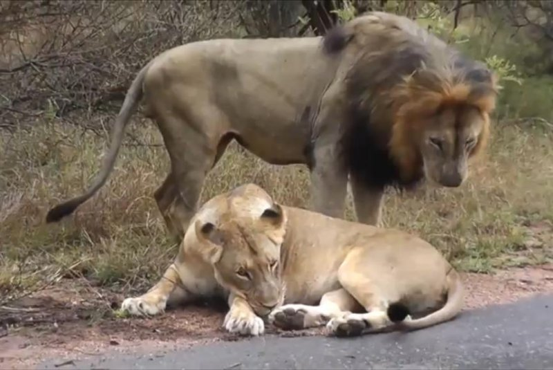 Watch Lioness Puts A Stop To Unwanted Mating Attempt - Upicom-8710