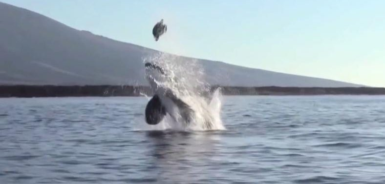 Watch: Orca launches s...
