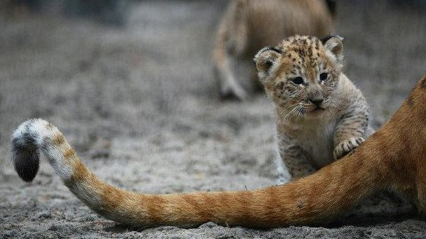 Liliger cubs born at Russian zoo - UPI.com