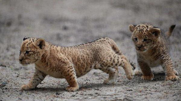 Liliger cubs born at Russian zoo - UPI.com