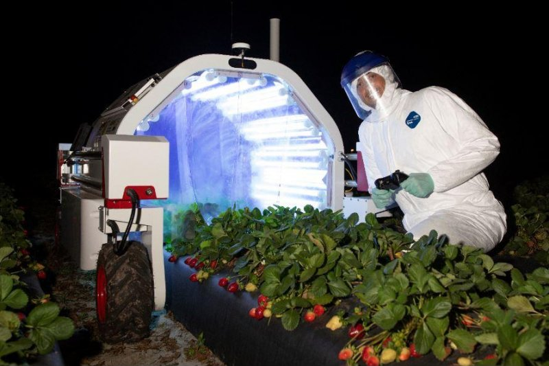 Florida strawberry farmers using robots to pick fruit