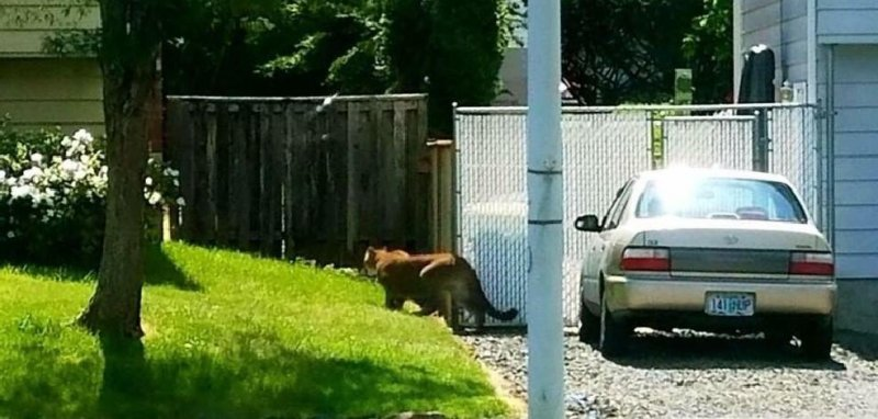 watch  cougar sighting sparks search of oregon