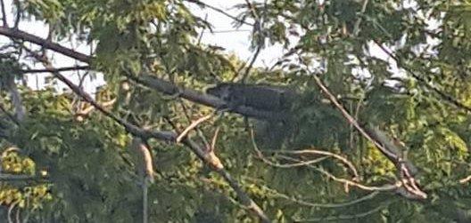 U S Lizard Watch: Alligator seen ...