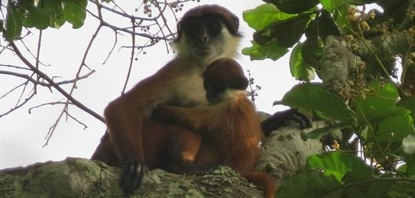 "a science paper on colobus monkeys ""scientists have known about the zanzibar red colobus monkey for 150 years, yet  this is the first systematic study of this poorly understood."