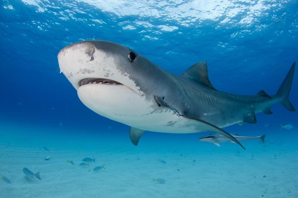 2 tiger shark 2 0l i4 dohcresearch