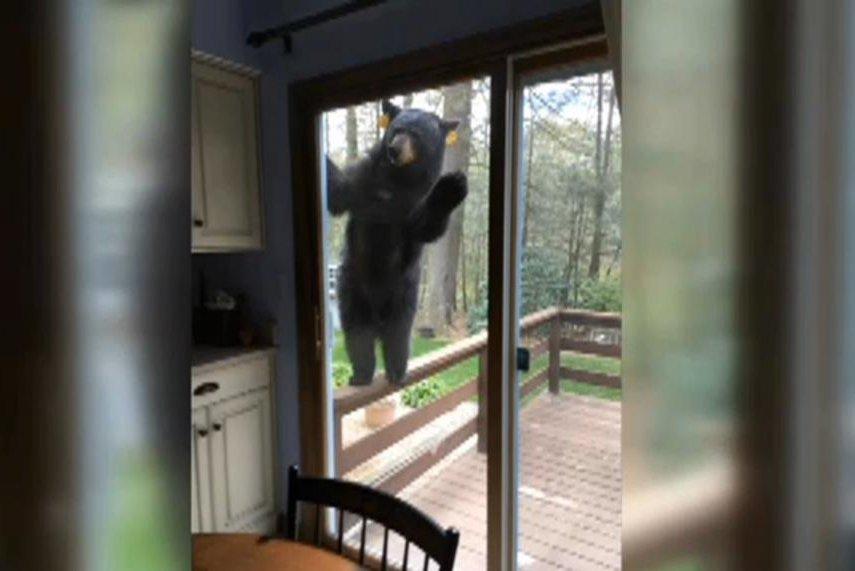 Watch Bear Tries To Get Through Sliding Door To Reach